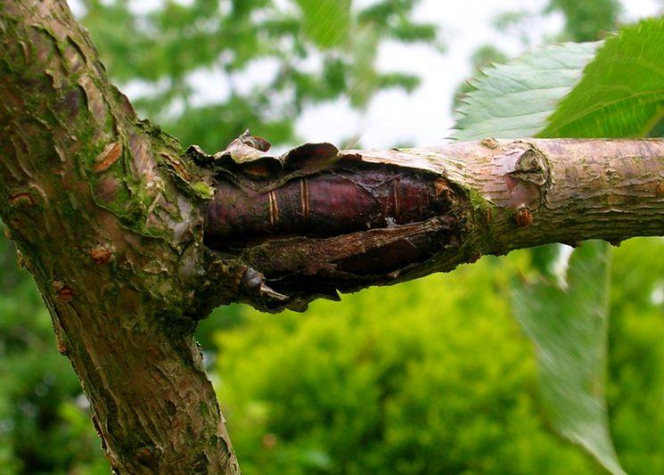Антракноз ствола вишни