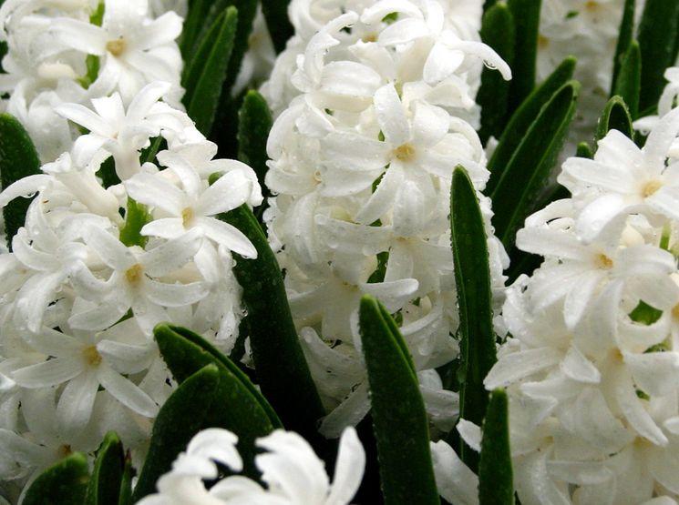 Белый гиацинт цветет