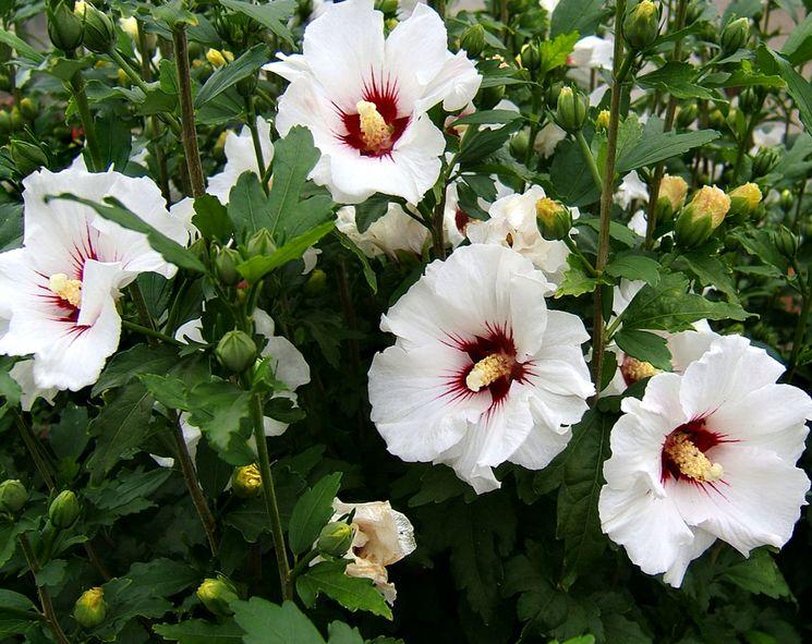 Белые гибискусы в саду