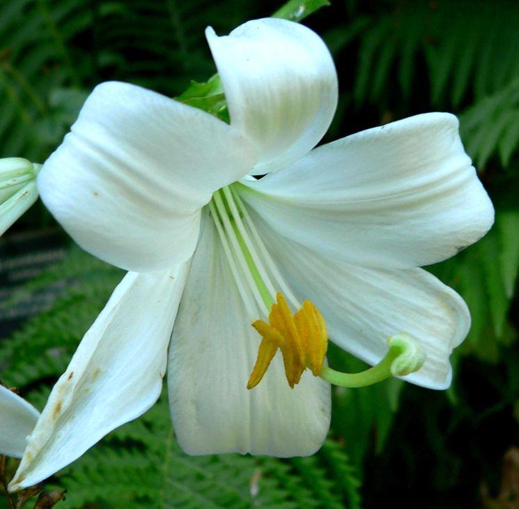 Болезни лилии