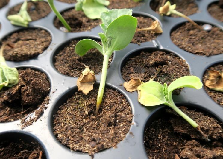 Чёрная ножка на рассаде овощей