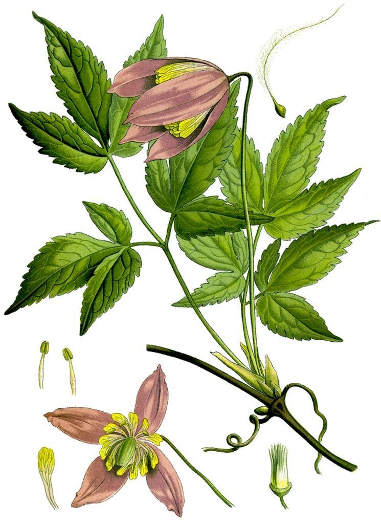 Клематис Alpina