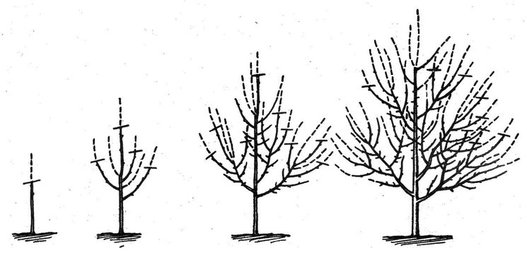 Формирование ярусной кроны абрикоса