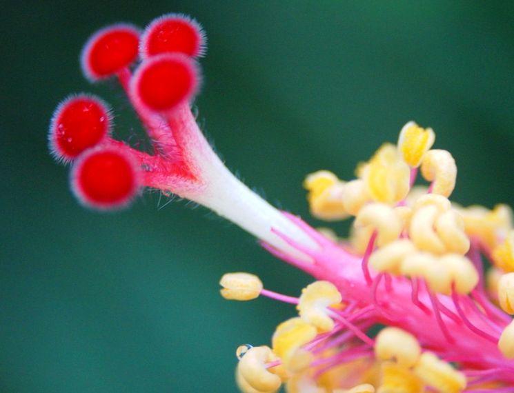 Гибискус - макросъемка цветка