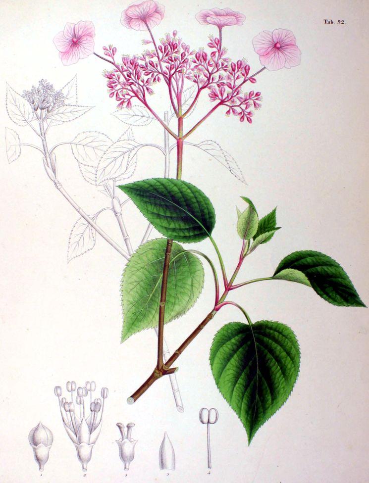 Гортензия - ботаническая иллюстрация