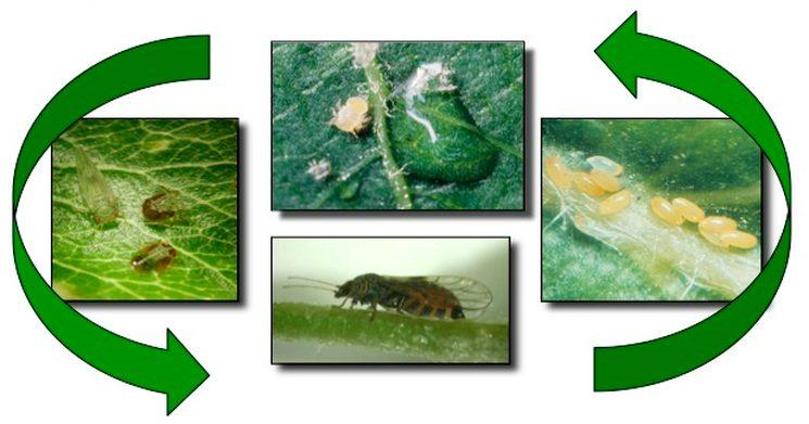 Грушевая медяница (листоблошка)