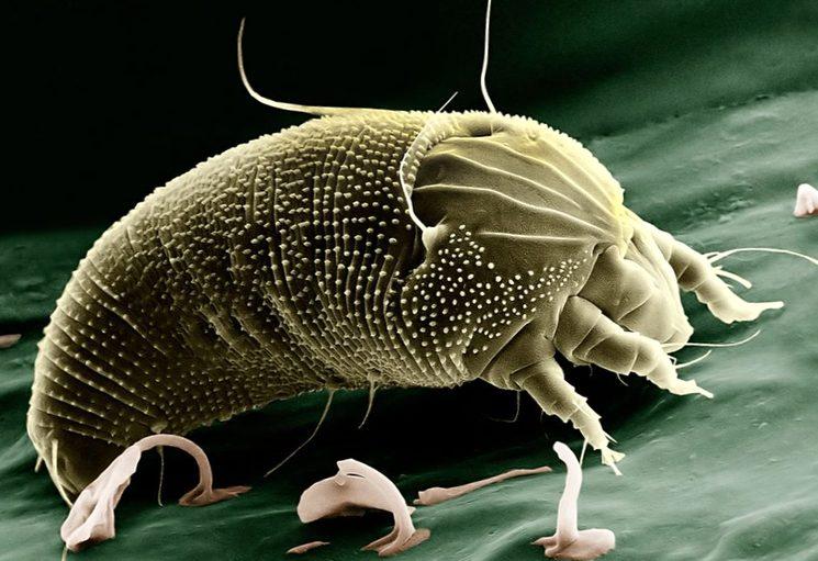 Грушевый клещ Eriophyidae микроскопического размера 0,1-0,3 мм