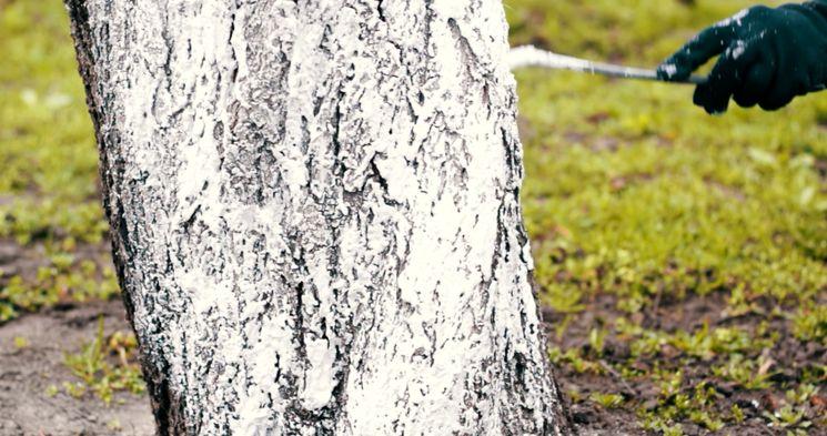 Как белить деревья осенью - подготовка к побелке