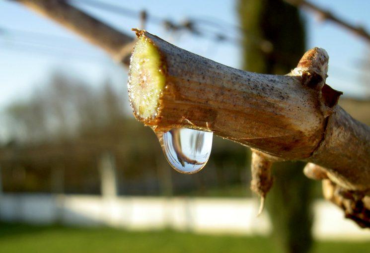 Как остановить плач винограда весной