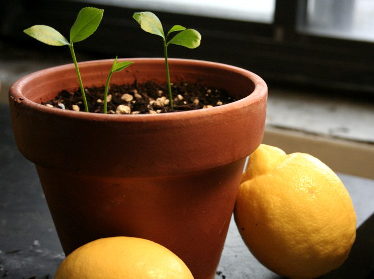 Как посадить лимонные косточки правильно
