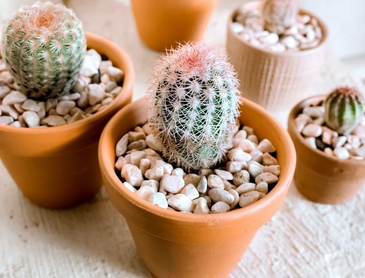 Удобрения и подкормка кактусов