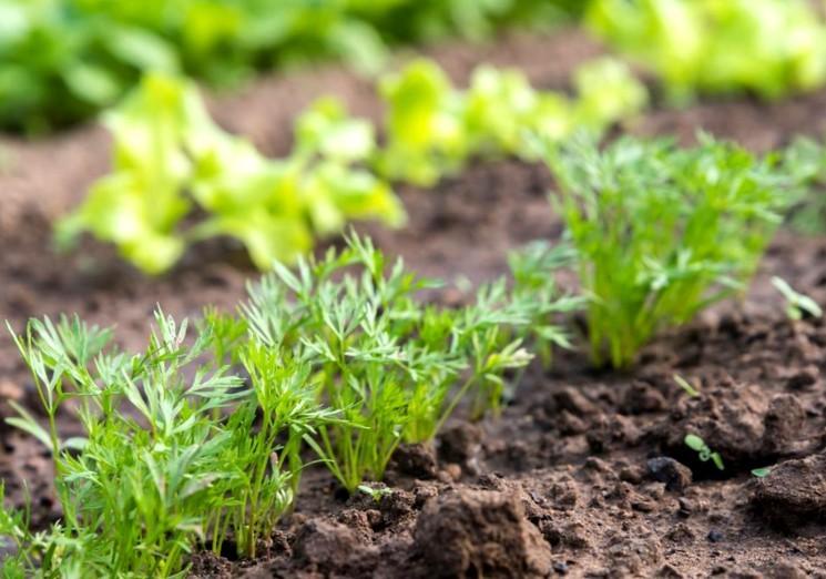Как сажать морковь в открытый грунт весной
