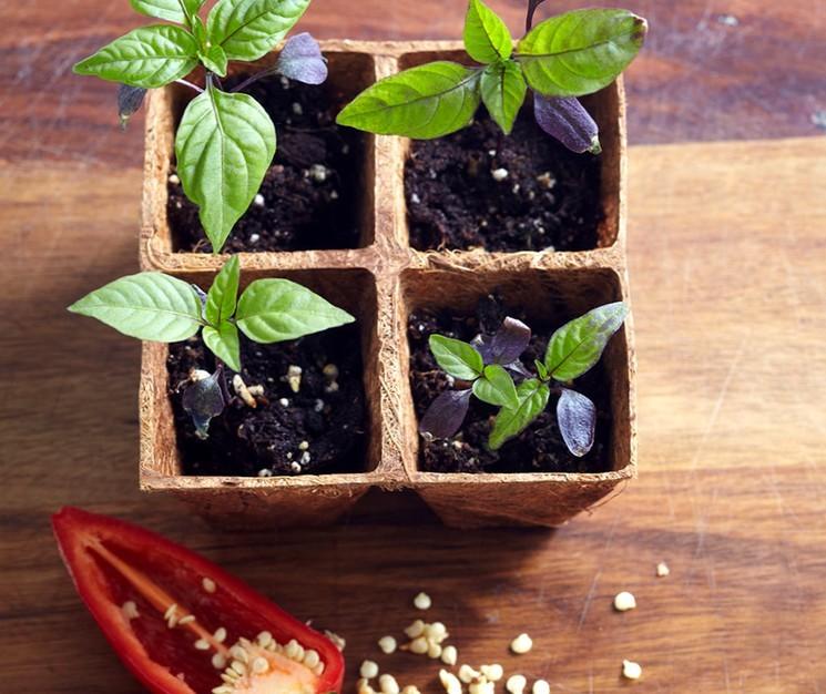Как сеять перец на рассаду в домашних условиях в 2021 году