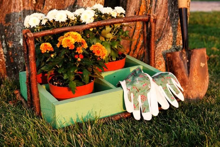 Как уберечь садовую хризантему в холодный период