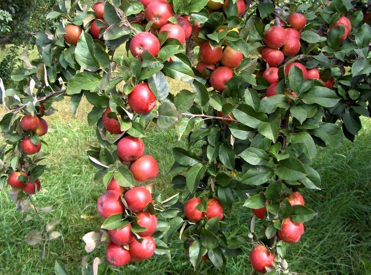 Как выбрать удобрения для яблони