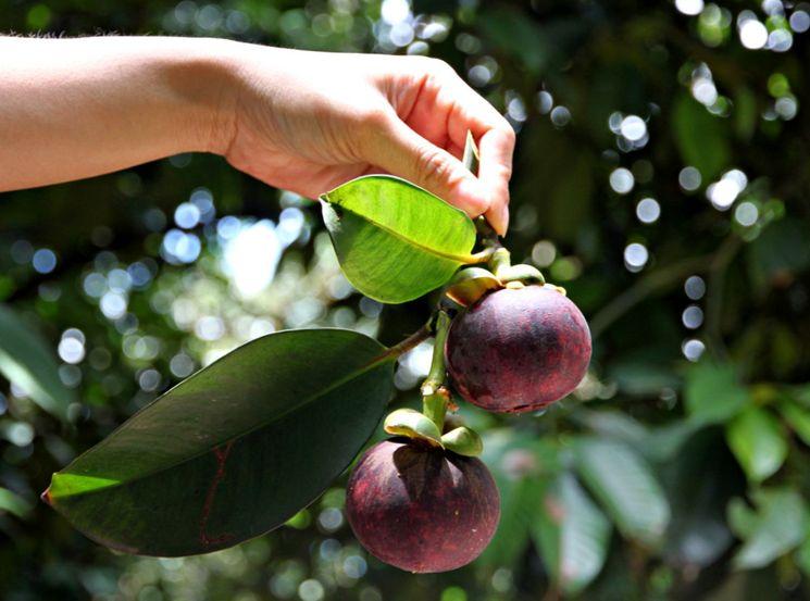 Как выглядит фрукт мангостин