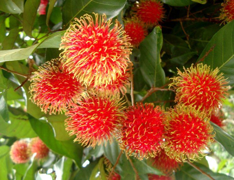 Как выглядит фрукт Рамбутан