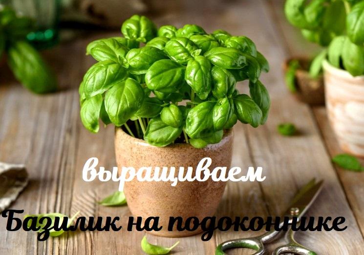 Как выращивать базилик на подоконнике