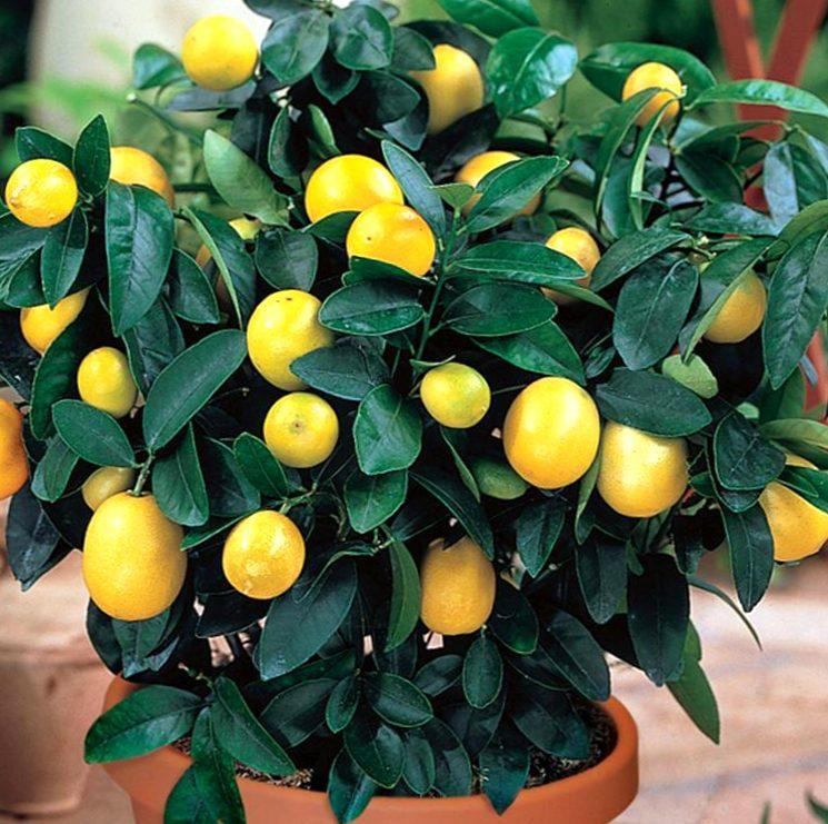 Как вырастить лимонное дерево из косточки