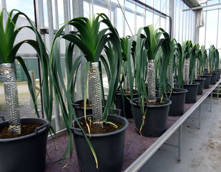 Отбеливание стеблей лука-порея