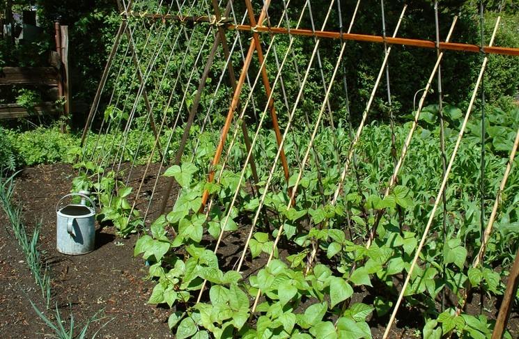 Как выращивать стручковую фасоль в открытом грунте