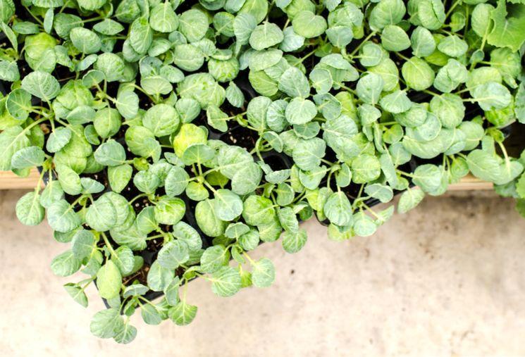 Сорта брюссельской капусты
