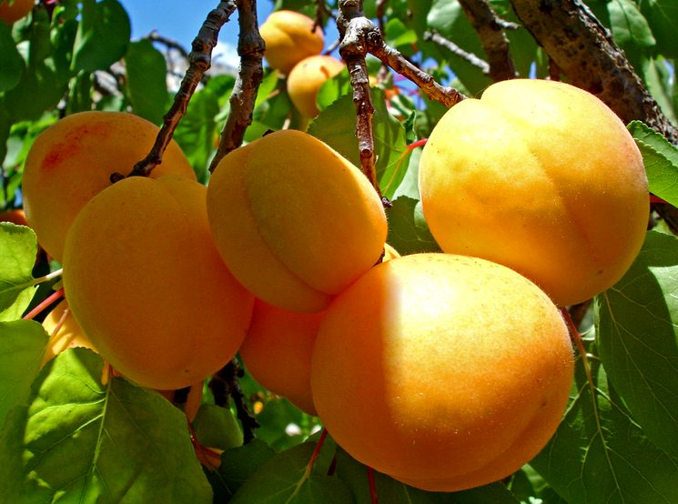 Хороший урожай абрикосов
