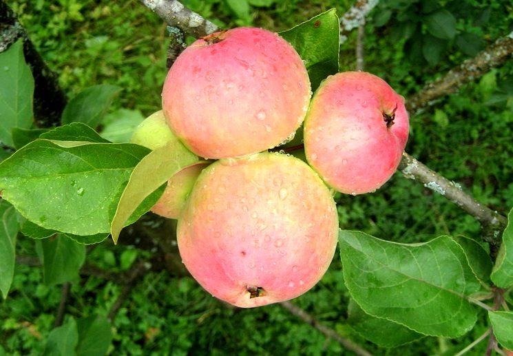 Хороший урожай яблок