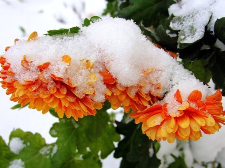 Как подготовить хризантему к зиме