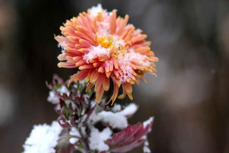 Хризантемы осенью - как готовить цветы к зиме