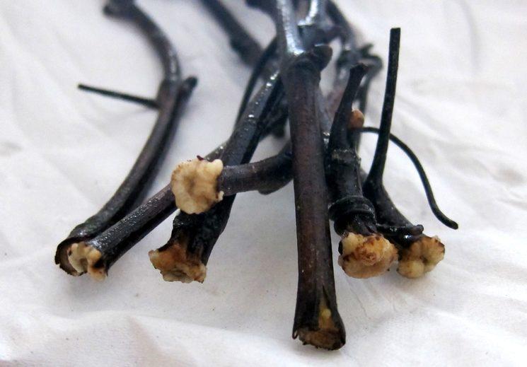Корнеобразование чубуков винограда