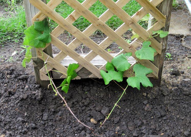 Посадка винограда у стены или ограды