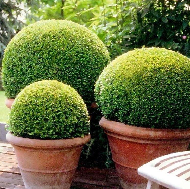 Кустарники самшита в вазонах