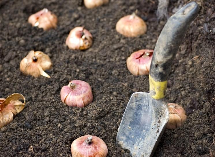 Какая почва нужна луковичным цветам осенью?