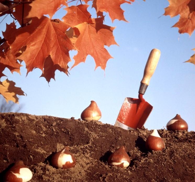 Когда сажать луковичные цветы осенью?