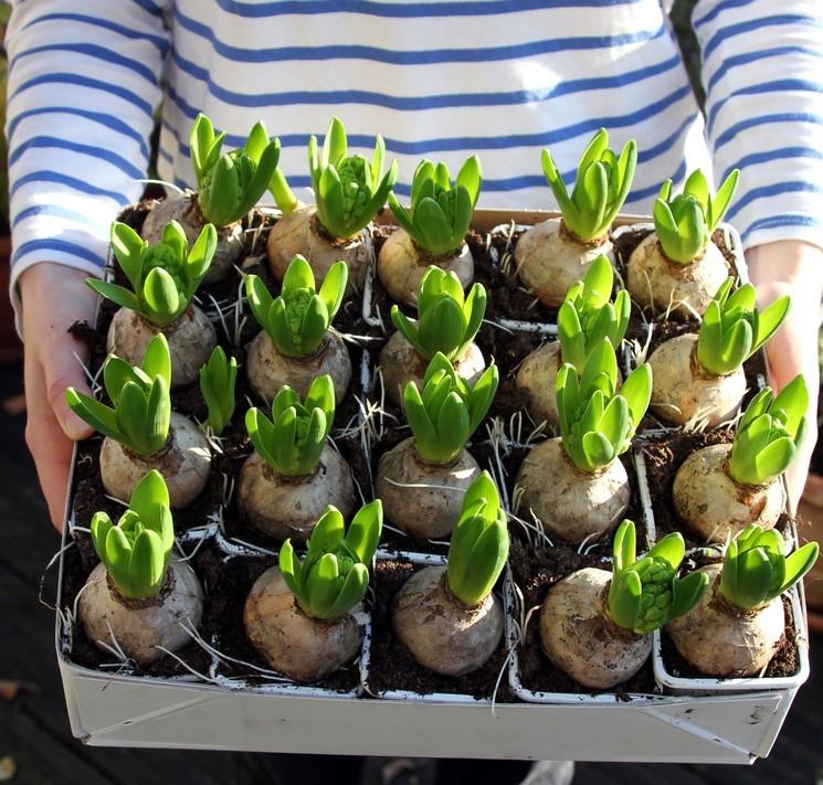 Луковичные цветы - подготовка к зиме