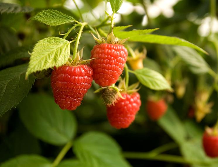 Минеральная подкормка ягодных кустов