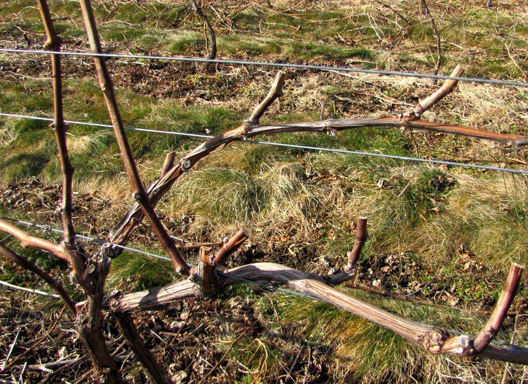 Обработка винограда весной