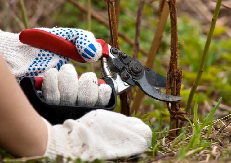 Как проводить весеннюю обрезку кустов малины