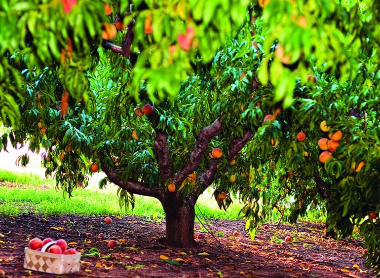 Орезка персика - как правильно обрезать персиковое дерево