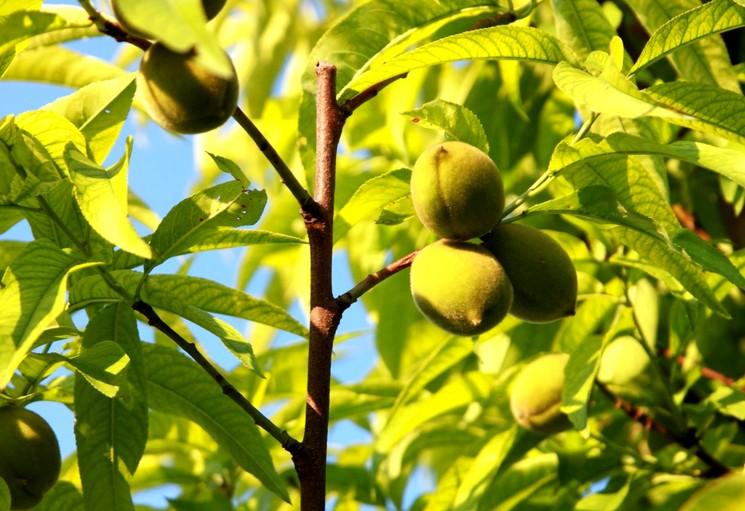 Летняя обрезка персика
