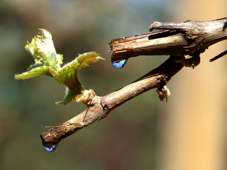 Уход за срезами винограда