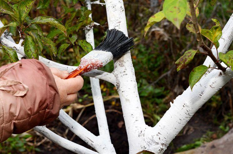 Чем белить деревья осенью - препараты для побелки