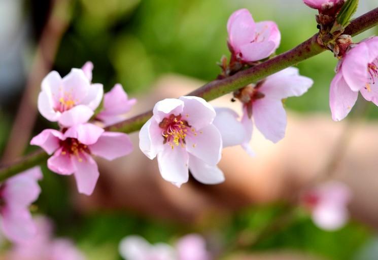 Персик - выращивание персика в своём саду
