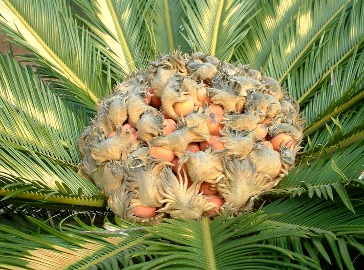 Пальма саговая