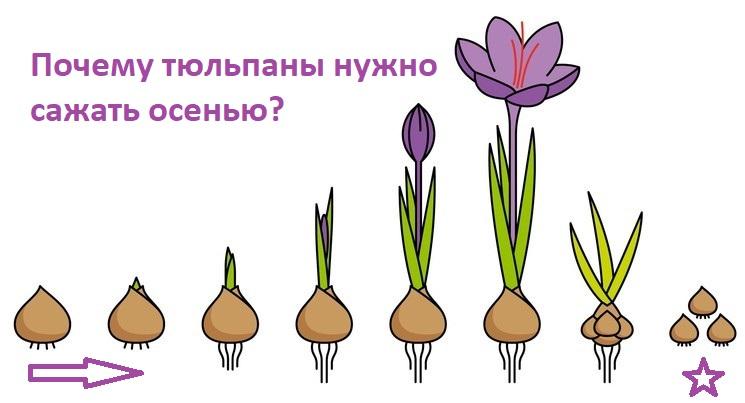 Почему тюльпаны нужно сажать осенью