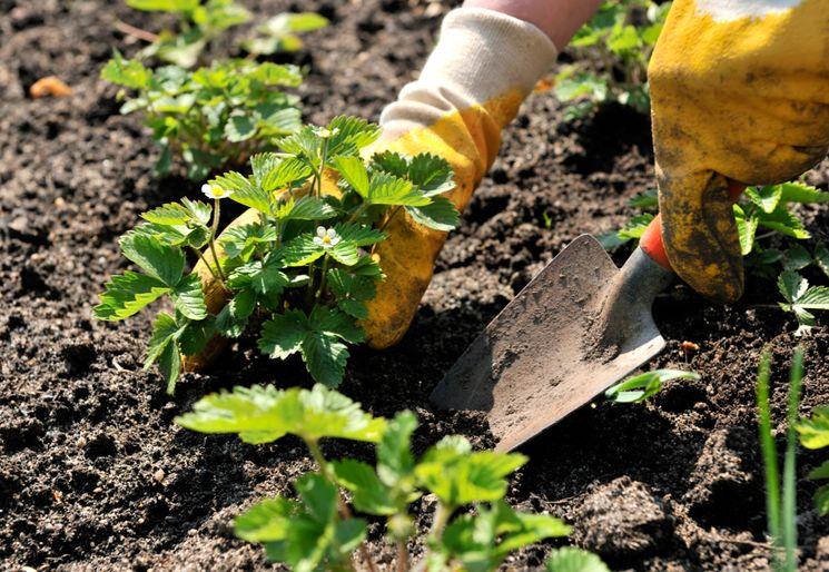 Подготовка клубники и земляники весной