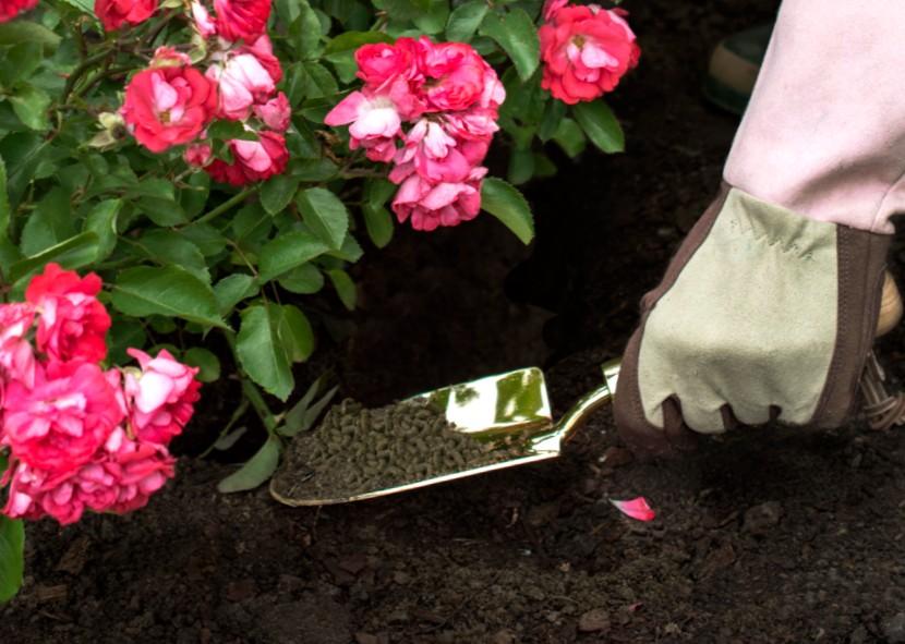 Подкормка и удобрения роз весной