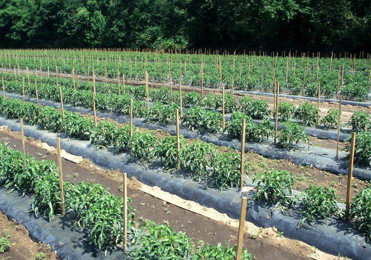 Подкормка томатов в открытом грунте весной