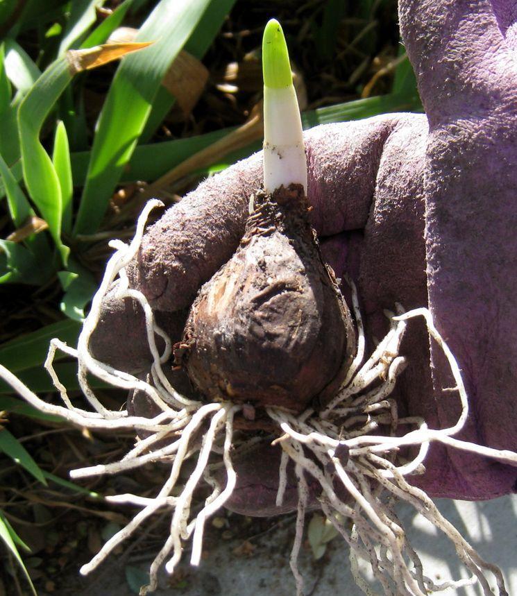 Посадка нарциссов в грунт луковицей